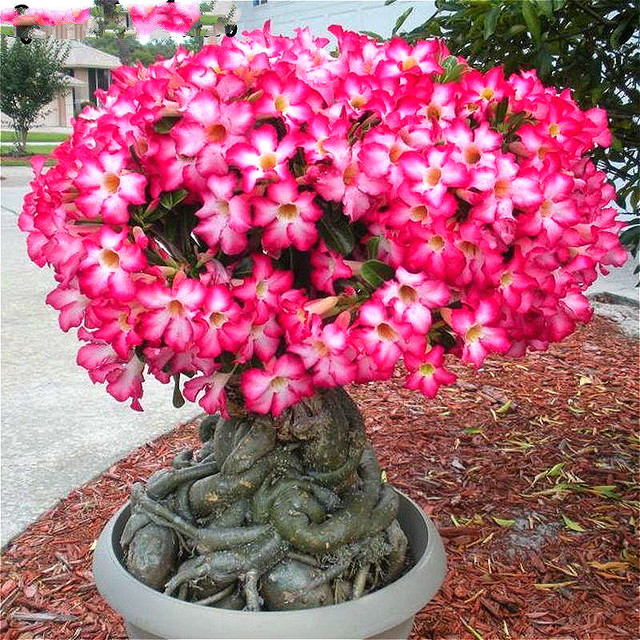 rare desert rose seeds 2 particles lot ornamental plants balcony potted red flowers bonsai flower