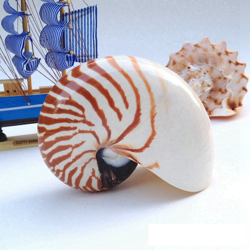 Free Shipping(1pcs/lot)Chambered Nautilus Natural Shell & Conch Home Decoration Aquarium Landscaping Shell Ornaments