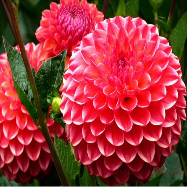 Dahlia Bulb, Multi-Color Dahlia Flower, 1pc/pack