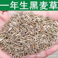 Gramado semente semente de azevém azevém particularmente elevado latifolia 200 g/pacote
