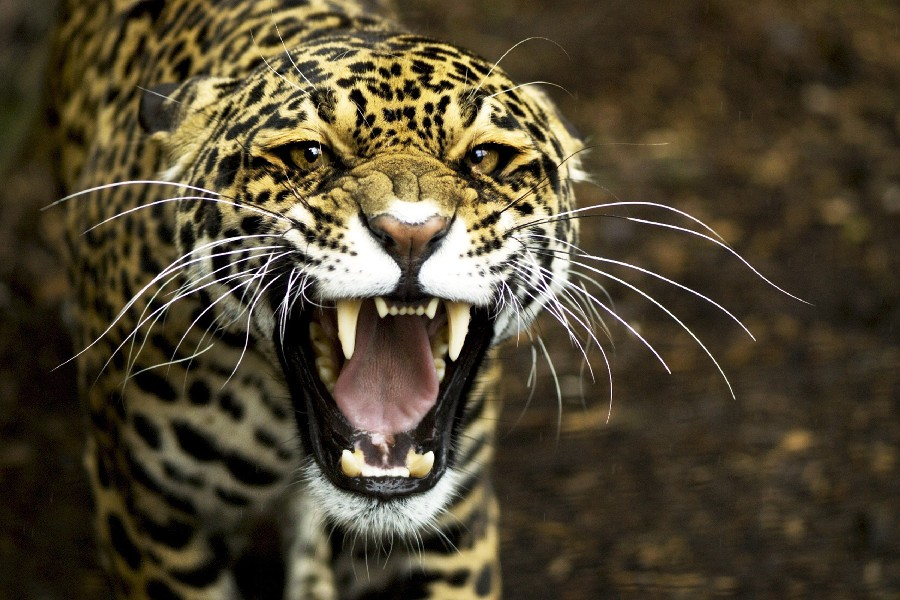 Online Buy Wholesale Jaguar Face From China Jaguar Face