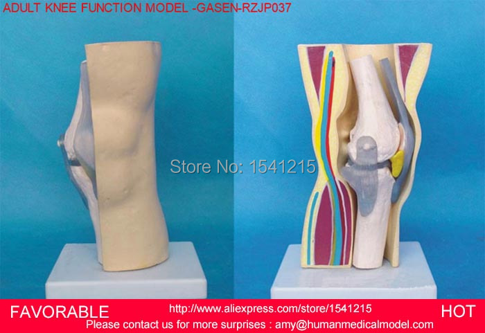 ANATOMY KNEE JOINT SECTION MODEL, ANATOMICAL KNEE JOINT MODEL,HUMAN ...