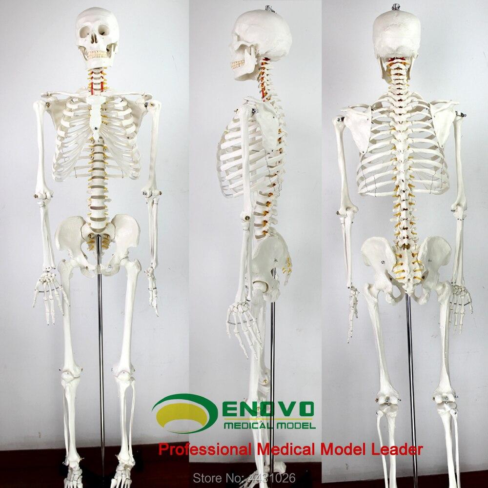 ENOVO 170cm human skeleton model skeleton specimen model art medicine art pain department