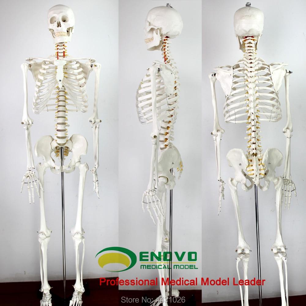 ENOVO 170 cm humains. squelette modèle spécimen squelette modèle art art médecine douleur ministère