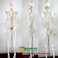 ENOVO 170cm human.skeleton model skeleton specimen model art medicine art pain department