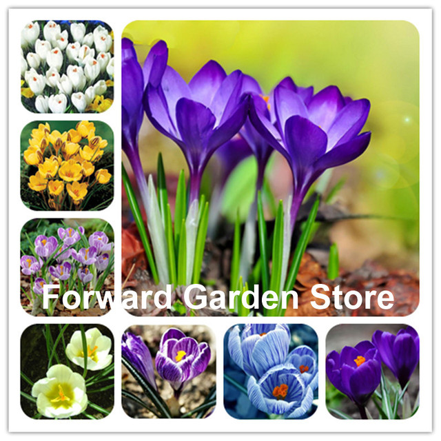100 Pcs Colorful Saffron Flower Bonsai, Happy Joy Flowers Bonsai Perennial Indoor Flowering Pot Plant For Home Garden Decoration