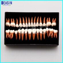 1 Set Dental Oral 28 PCS 1:1 Permanent Teeth Model Demonstration Teach Study