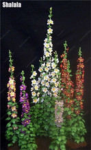 30 STÜCKE Gute qualität Mini Doppel Stockrose Samen Kanada Geraniums Mehrjährige Bonsai Blume Pflanzen für Haus & Garten Dekoration(China)