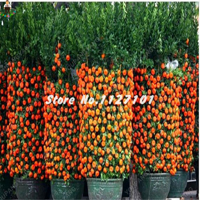 10 pz Arancione flores Commestibile Frutta Citrus pianta Bonsai Mandarino Bonsai