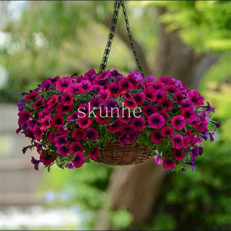 Single-flowered multi-flowered petunia bonsais spring-sowed autumn sowing flower balcony mirage flower100pcs(ai qian niu)