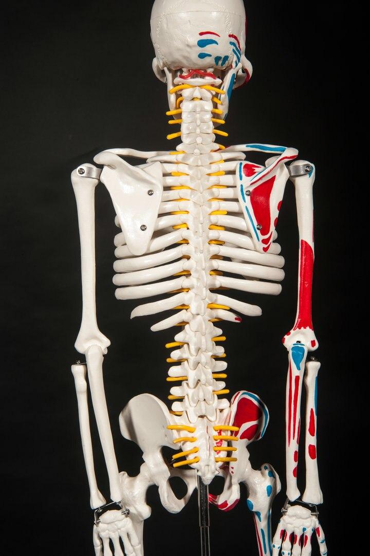 aliexpress : buy dental lab dentist 85cm human skeleton male, Skeleton