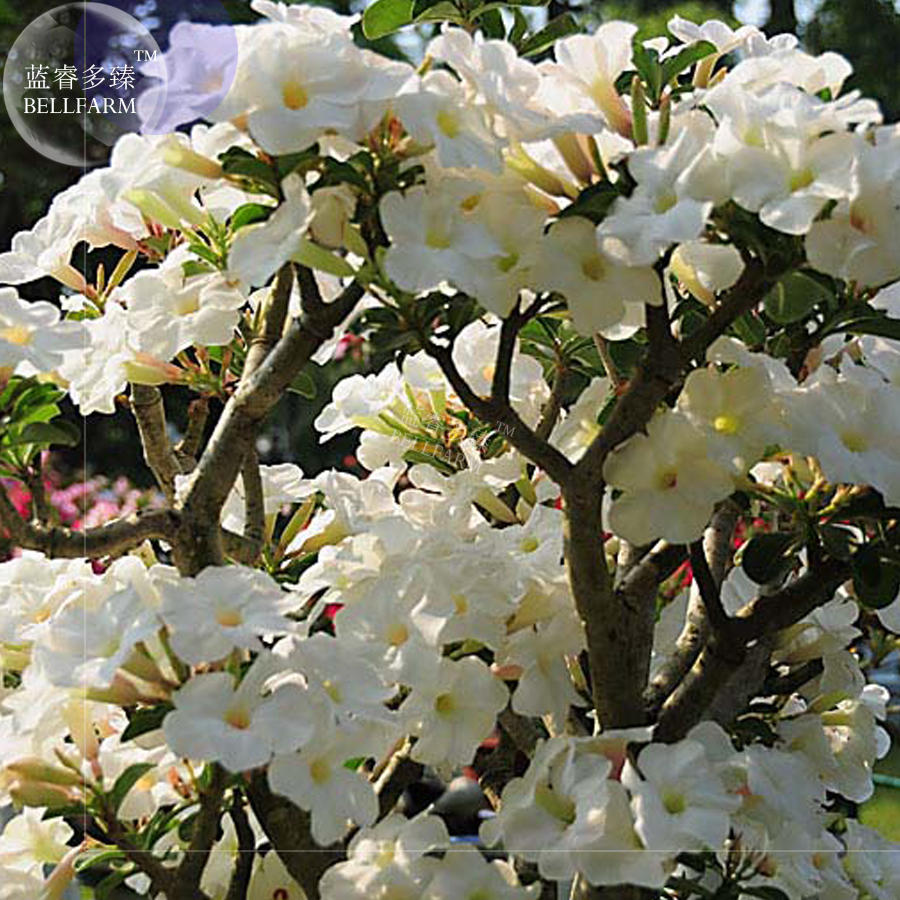Bellfarm Adenium White Bonsai Tree Dense White Flowers 2pcs Seeds