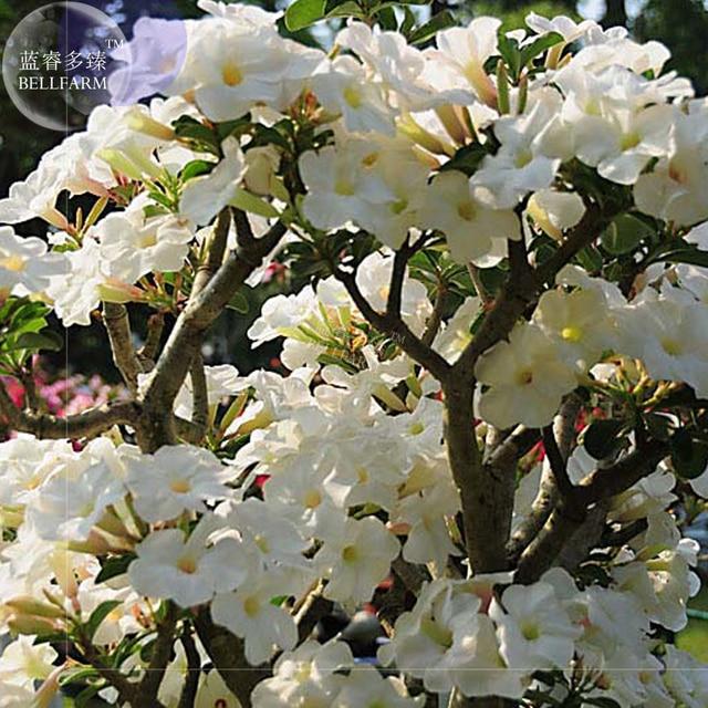 Bellfarm Bonsai Adenium White Tree Dense White Flowers Single Petals