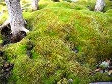 Sphagnum Moss for Bonsai decoration 200pcs