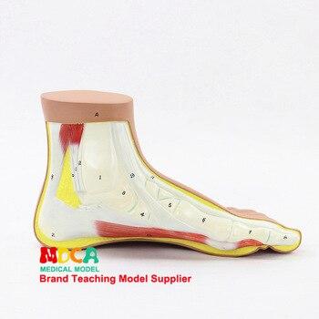 Human foot Normal foot model Foot joint Biology Human model Anatomical model Medical teaching equipment