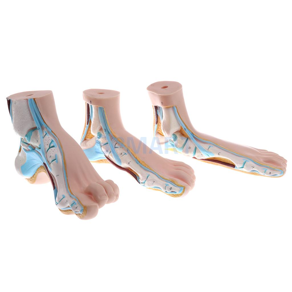 1:1 Lifesize Set of 3 Pieces Human Normal Flat Arched Foot Anatomical Model Lab Equipment normal foot flat feet bow foot foot combined anatomical model