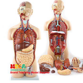 85 cm disassembly of 25-part amphoteric trunk visceral anatomical model MQG202 for teaching of liver, intestine and stomach medi