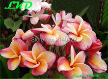 7-15inch Rooted Plumeria Plant Thailand Rare Real Frangipani Plants no28-Beautyful-Thailand