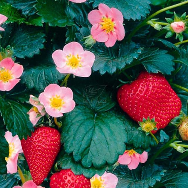 Bellfarm bonsai pikan f1 strawberry pink flowers pink flowers and bellfarm bonsai pikan f1 strawberry pink flowers pink flowers and sweet fruit high germination 100pcs mightylinksfo