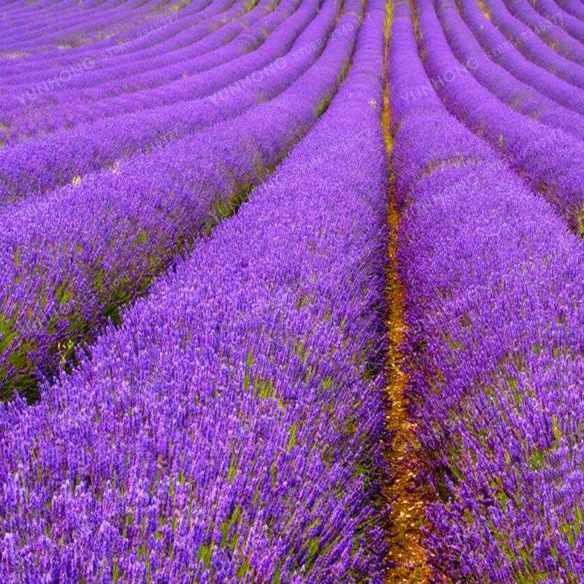 100 French Provence Lavender Bonsai Very Fragrant Can Grow Well In Bonsai Organic Lavender Bonsai Plant Home Garden Bonsai