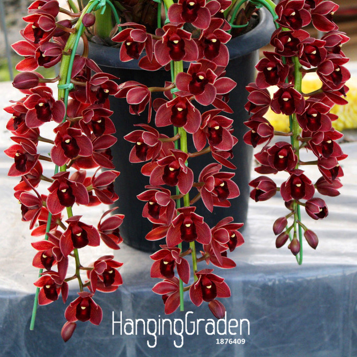 Enthusiastic Best-selling!100 Pcs/pacl Dark Red Chinese Cymbidium Orchid Flower Bonsai Indoor Potted Flowers Cicada Orchid Plant,#1dht86 Elegant And Graceful Bonsai