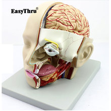 Human head anatomical model Anatomy of the skull sagittal sinus Oral nasopharyngeal model biology anatomy medical gift