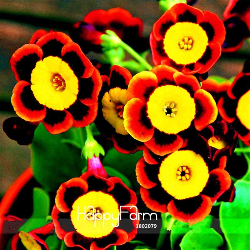 Big Sale! Liesl Tri-cor Rara Sementes de Flores de Petúnia Anual, 100 Pçs/saco, flores e Fino Geada, # BLV3HH
