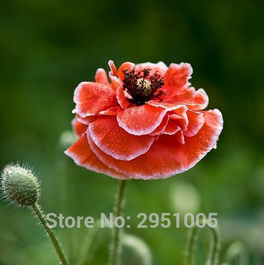 Leale 100 Pz Fiore Rosso Onda Onda Mais Papavero Testa Di Fiore Di Lunghezza