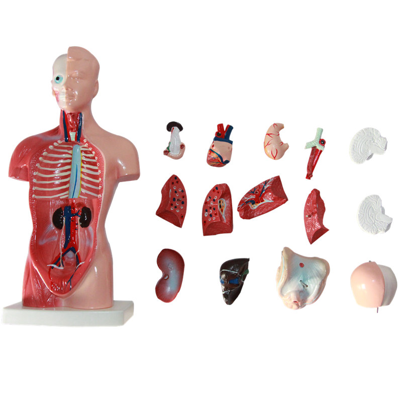 HeyModel Anatomical human Torso Model of Internal Organs in 26CM Size medical anatomical torso anatomical model structure human organ system internal organs large throat gasen rzjp075