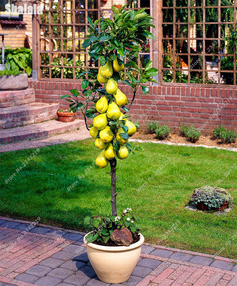 40 Pcs Pear Seed Windowsill Miniature Bonsai Fruit Tree Living Room Shrub Seed Easy Grow Potted Plant DIY Home Garden Household