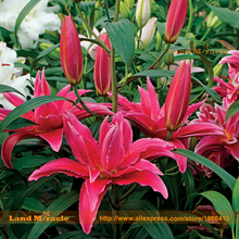 'Roselily Elena' Oriental Lily Flower Seed, 50 Seed/Pack, Cut Flower Lilium Brownii Bonsai Lillies Seed All Season-Land Miracle(China)