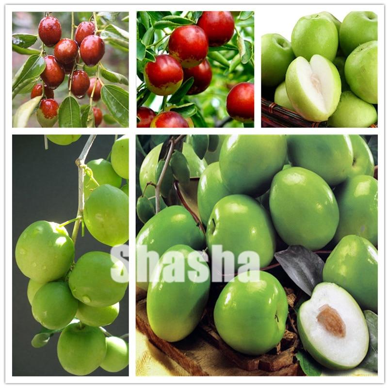 US $0 16 80% OFF|10Pcs Jujube Bonsai Chinese Taiwan Big Jujube Potted plant  Fruit Tree Bonsai Rare Tropical Fruit Bonsai DIY Home Garden Supplies on