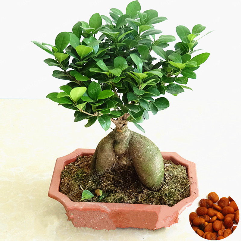 20 pcs bag banyan tree bonsai ficus ginseng bonsai chinese rare ficus microcarpa tree green. Black Bedroom Furniture Sets. Home Design Ideas
