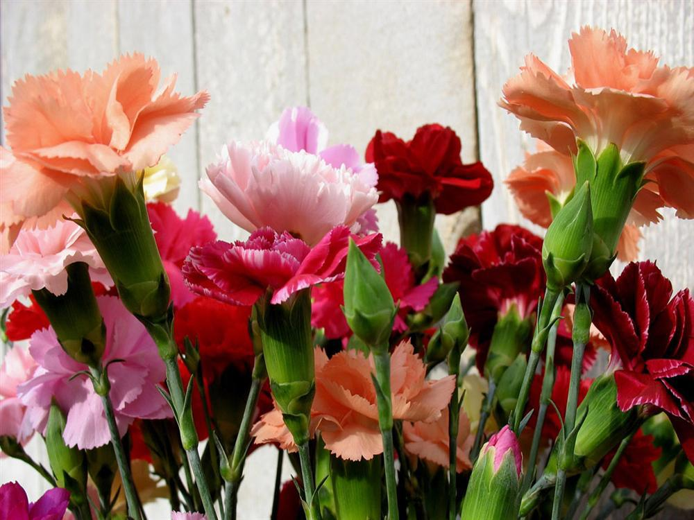 aliexpresscom buy 50 seeds mixed color carnation flower seeds beautiful lovely flowers seed for home garden from reliable flower seeds suppliers on - Carnation Flower Colors