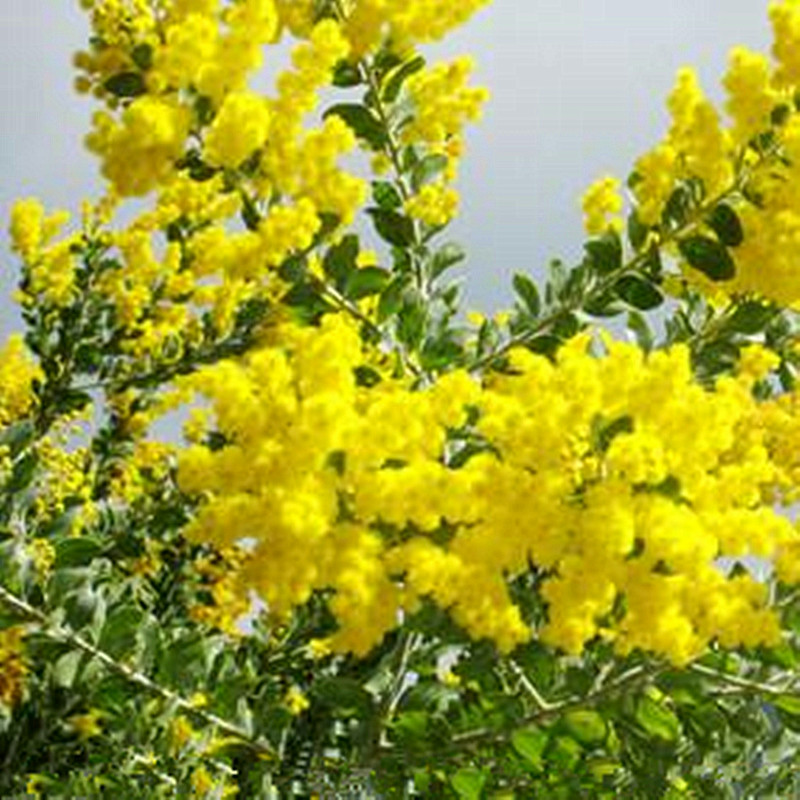 Marseed 20 Pcs Golden Mimosa Acacia Baileyana Yellow Wattle Tree