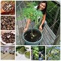 20 pçs/saco Sementes de Moringa Moringa Moringa Oleifera Sementes Da Árvore, Sementes comestíveis BAQUETA ÁRVORE Bonsai Vaso de Plantas para Jardim de Casa