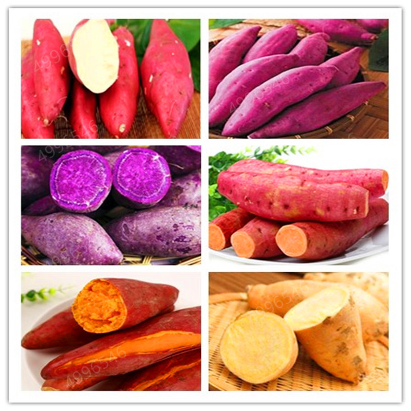 500pcs Multiple Colour Sweet Potatoes  Organic Non-GMO Vegetable For Yard&farm Planting Ipomoea Batatas Delicious Ingredients