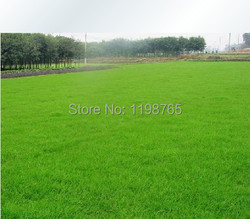 300pcs special grass seeds lawn grass seeds evergreen perennial.jpg 250x250