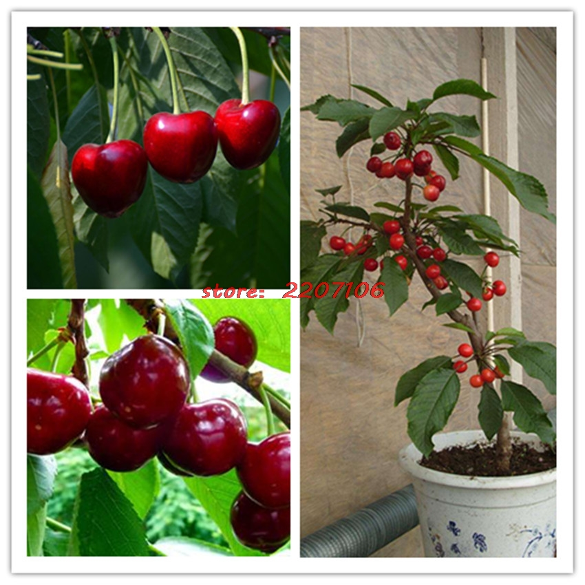 20 sweet cherry tree seeds British Columbia Lapin Sweet Cherry Plant for home garden planting