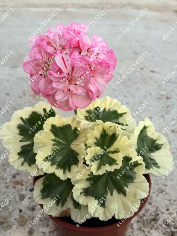 100pcs/bag geranium seed bonsai flower seeds Perennial Flower Seeds Pelargonium Peltatum Seeds potted geranium for home garden