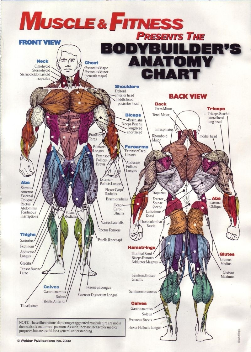Anatomy Pathology Anatomical Poster Muscle and Fitness Classic ...