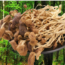 Pure Natural High Quality Tea Tree Mushroom, Tea Trunk Mushroom Organic Nutrition Health Care Edible Fungus, Free Shipping