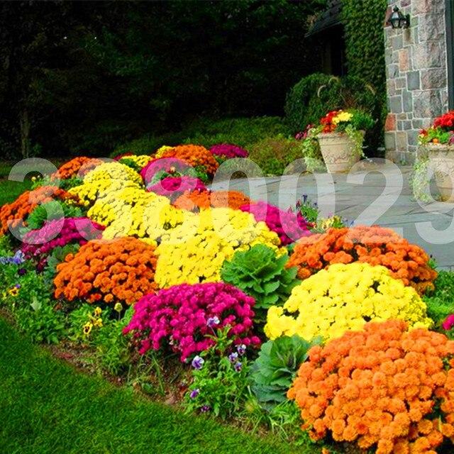 100 قطعة/الحقيبة الأرض غطاء أقحوان بونساي سهلة تنمو نبات زهرة للمنزل حديقة بونساي النباتات