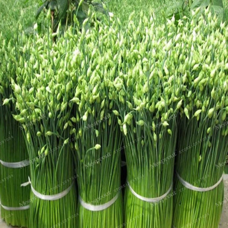 100pcs/bag Nutritious Chives Seeds Vegetable (Allium tuberosum Garlic chive) Seeds Healthy Green Food,bonsai plant home garden