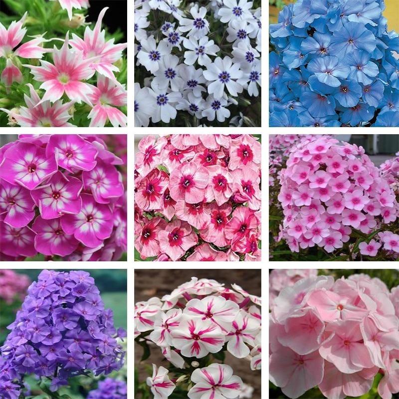 24kind colour phlox flowers diy home garden courtyard bonsai pot 24kind colour phlox flowers diy home garden courtyard bonsai pot perennial plants 120pcs mightylinksfo