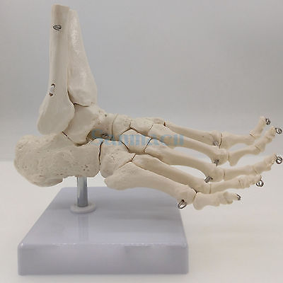 Image 3 - Foot and Ankle Joint Functional Anatomical Skeleton Model Medical Display Teaching School Life Sizeanatomical skeleton modelskeleton modelanatomical skeleton -