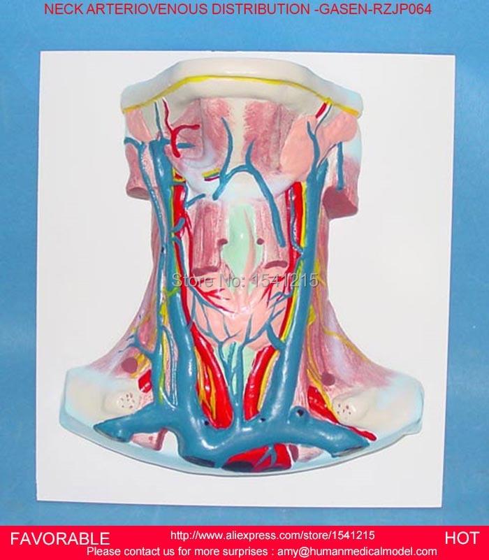 Neck Neurovascular Attached Brain Structure Human Organ System