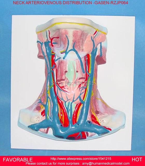 NECK NEUROVASCULAR ATTACHED BRAIN ,STRUCTURE HUMAN ORGAN SYSTEM ...