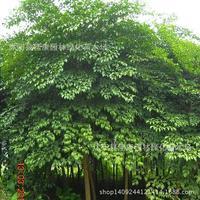 happy tree Radermachera real planthot 200g / Pack
