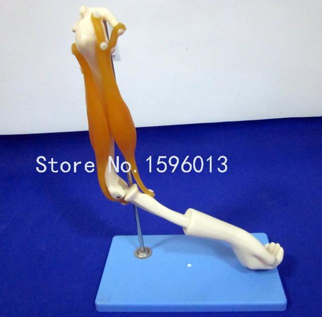 Codo articulación con funciones músculos, modelo anatómico modelo de ...